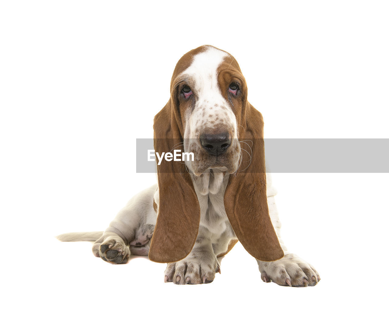 pets, domestic, studio shot, portrait, domestic animals, white background, mammal, looking at camera, one animal, dog, indoors, canine, vertebrate, cut out, front view, no people, copy space