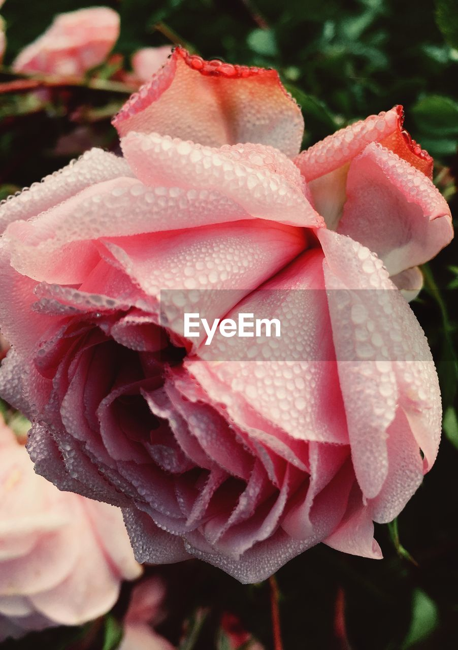 petal, flower, nature, beauty in nature, growth, fragility, flower head, rose - flower, close-up, pink color, freshness, no people, outdoors, plant, day, blooming, water