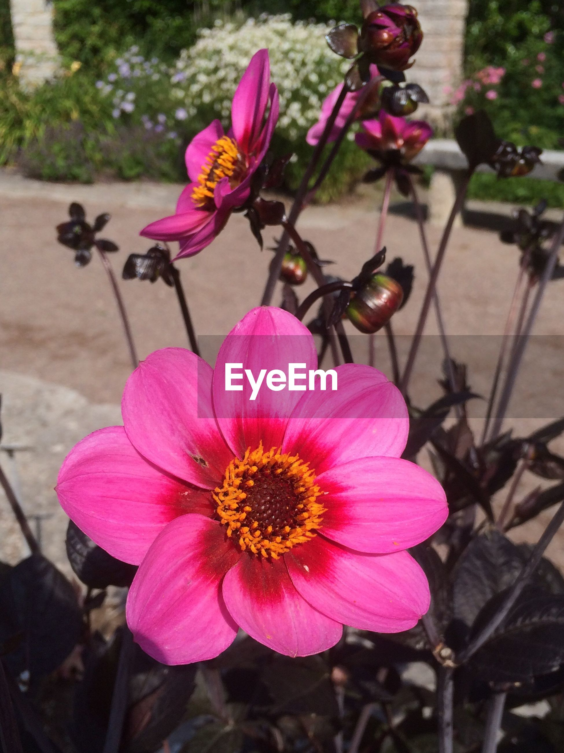 flower, petal, freshness, fragility, flower head, pink color, focus on foreground, beauty in nature, close-up, blooming, growth, pollen, nature, plant, in bloom, stamen, blossom, day, outdoors, no people, botany, stem, selective focus, softness