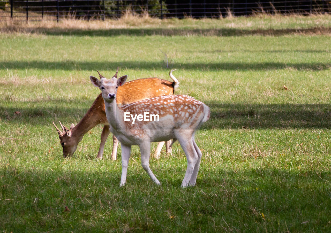 animal, grass, animal themes, plant, animal wildlife, mammal, field, land, nature, group of animals, deer, animals in the wild, no people, day, vertebrate, two animals, spotted, domestic animals, outdoors, animal family, herbivorous, fawn