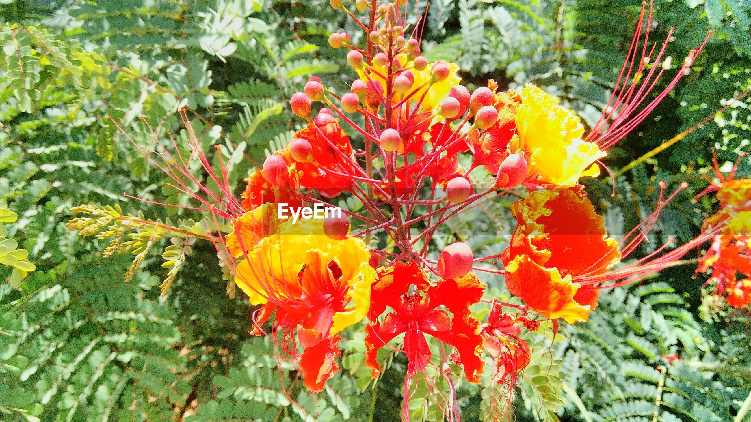 Delonix regia blooming outdoors