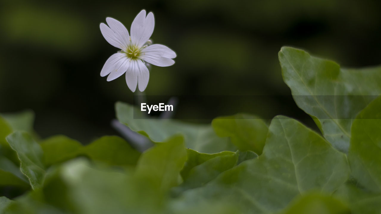 flowering plant, plant, flower, vulnerability, beauty in nature, fragility, growth, freshness, close-up, petal, plant part, selective focus, leaf, flower head, inflorescence, green color, nature, no people, day, white color, outdoors