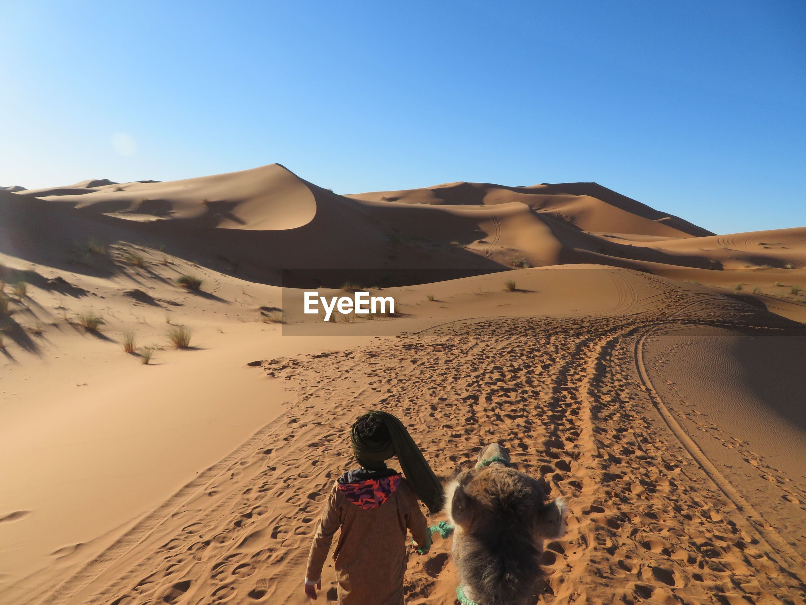 Rear view of man walking with camel at desert against blue sky