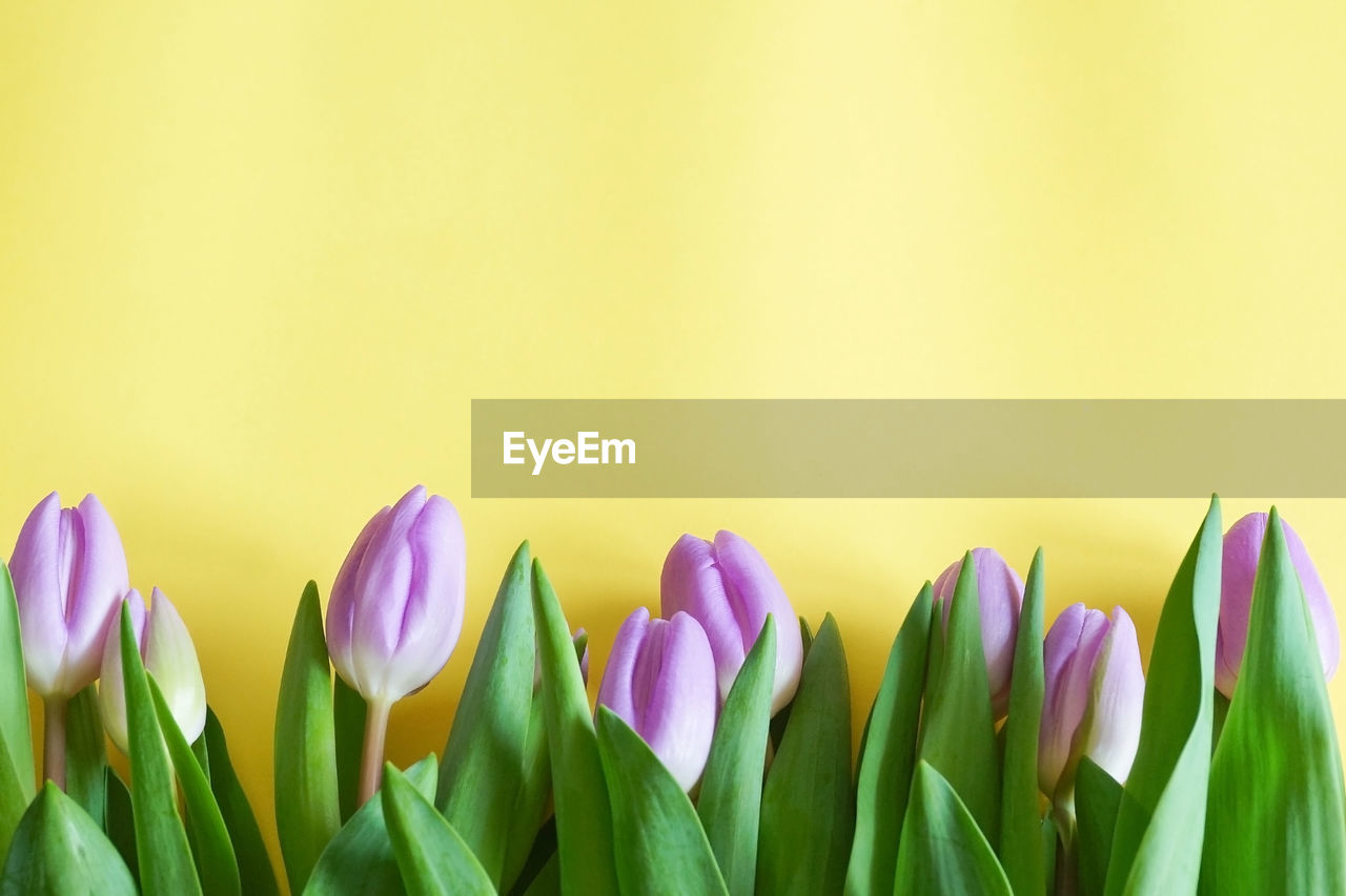 CLOSE-UP OF TULIPS AGAINST YELLOW BACKGROUND
