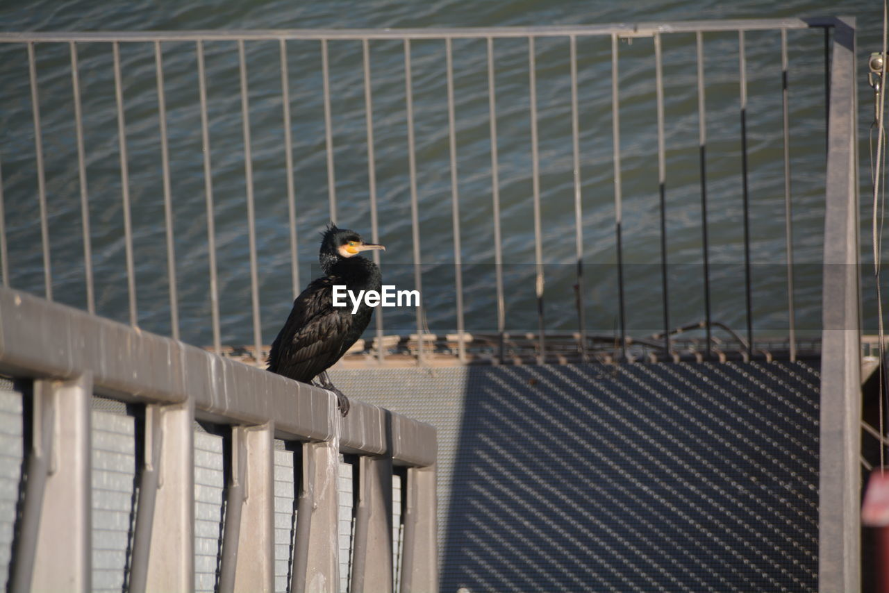 bird, animal themes, animal, animal wildlife, one animal, vertebrate, perching, animals in the wild, fence, no people, day, barrier, boundary, nature, architecture, railing, focus on foreground, wood - material, protection, metal
