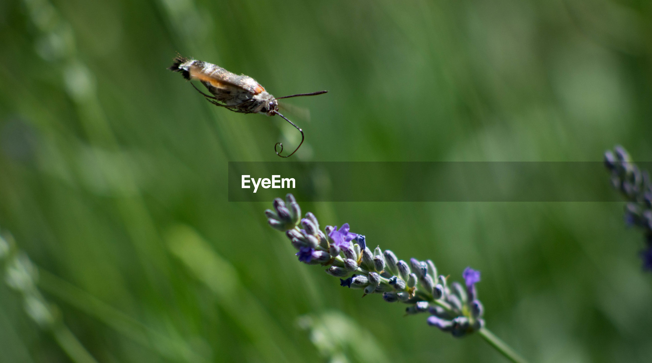 Insect buzzing by lavender