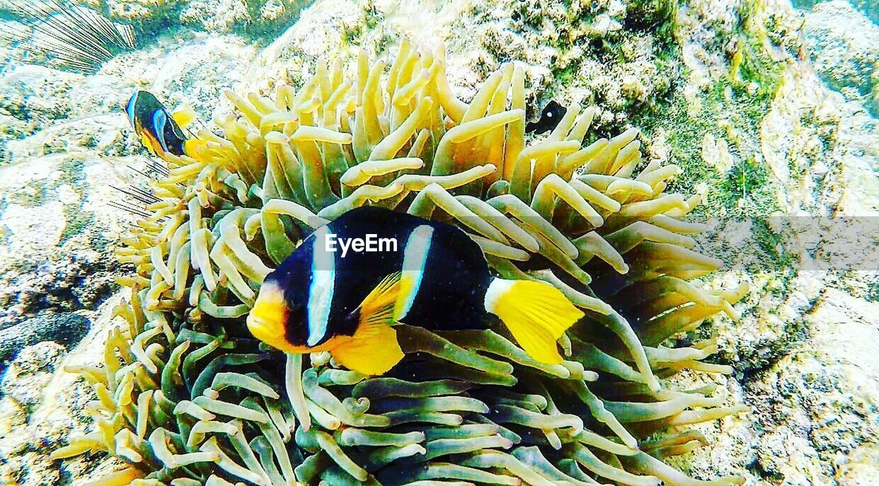 underwater, undersea, sea life, coral, animals in the wild, nature, animal themes, animal wildlife, no people, beauty in nature, one animal, sea, close-up, sea anemone, yellow, clown fish, outdoors, water, day