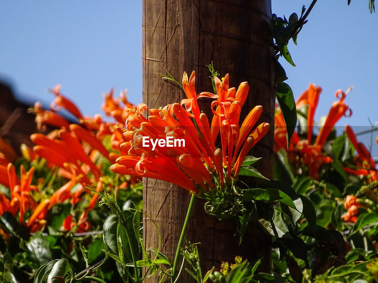 flowering plant, flower, plant, freshness, vulnerability, growth, fragility, petal, beauty in nature, orange color, close-up, flower head, nature, inflorescence, no people, day, focus on foreground, outdoors, botany, red, pollen