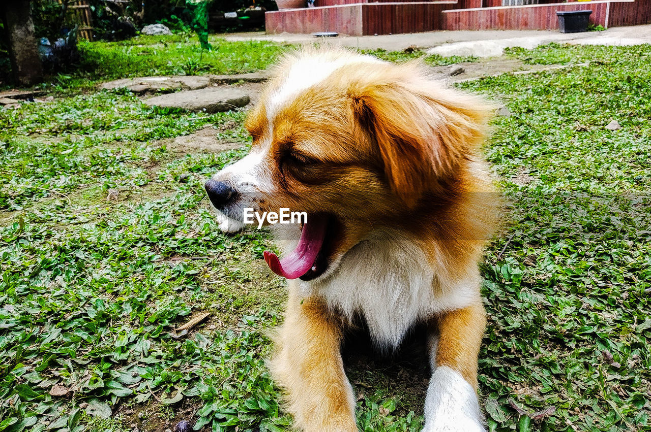 one animal, mammal, dog, pets, animal themes, canine, domestic, domestic animals, animal, vertebrate, field, grass, no people, day, facial expression, plant, land, nature, looking, looking away, outdoors, mouth open, animal tongue, animal head