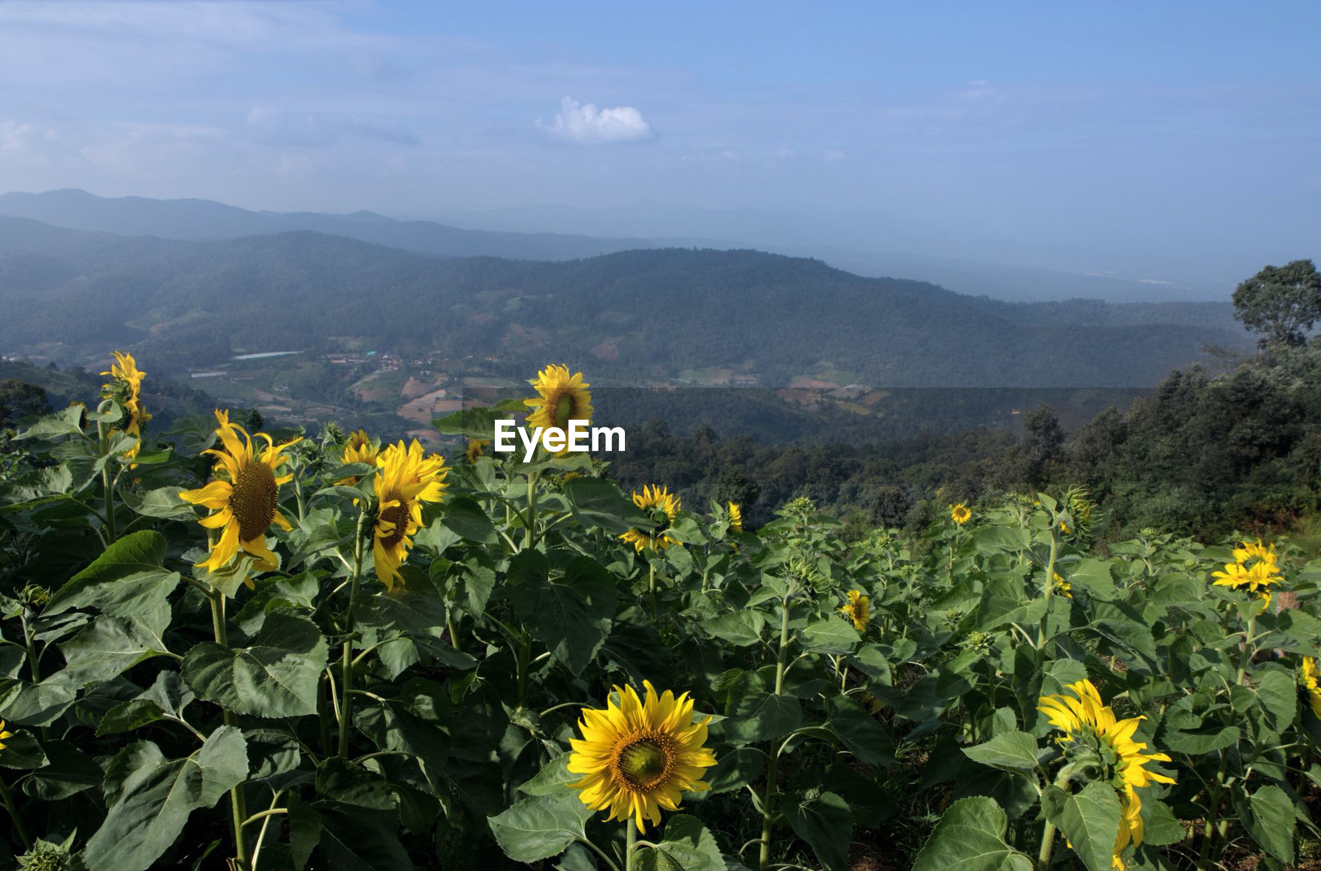 SCENIC VIEW OF SUNFLOWERS AGAINST MOUNTAIN