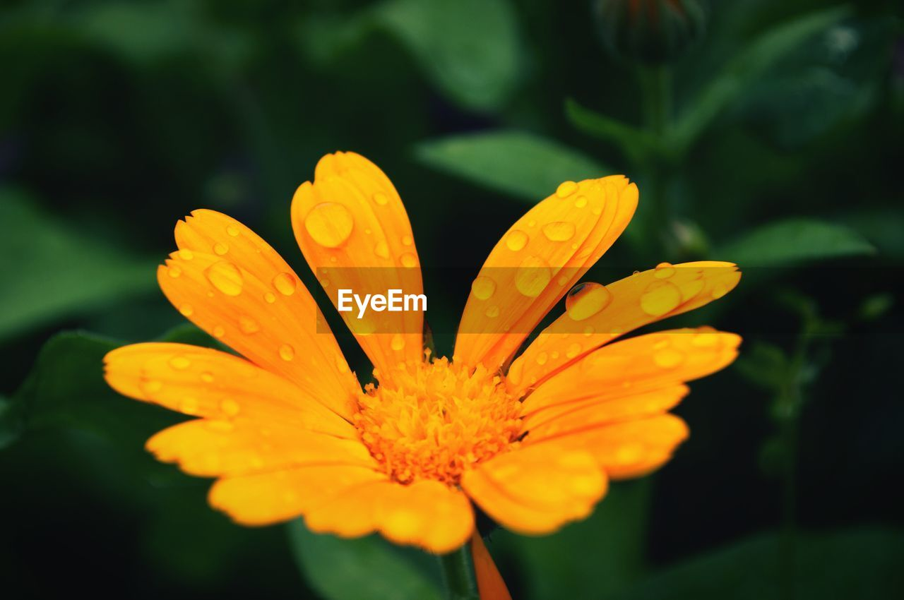 flowering plant, flower, vulnerability, freshness, fragility, plant, beauty in nature, growth, petal, flower head, close-up, inflorescence, yellow, focus on foreground, nature, no people, day, pollen, selective focus, orange color, outdoors, orange, gazania