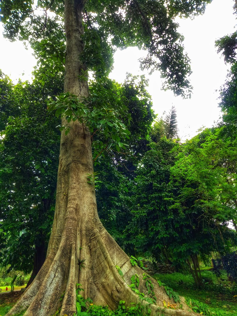 tree, tree trunk, growth, nature, green color, branch, forest, low angle view, day, no people, beauty in nature, outdoors, tranquility, scenics, sky