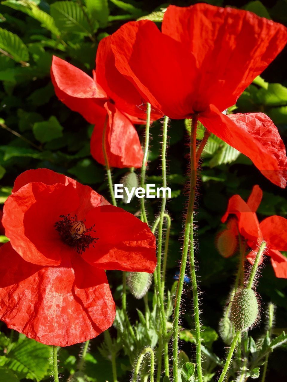 flower, fragility, growth, beauty in nature, petal, nature, red, plant, freshness, flower head, outdoors, no people, day, leaf, close-up, blooming, poppy