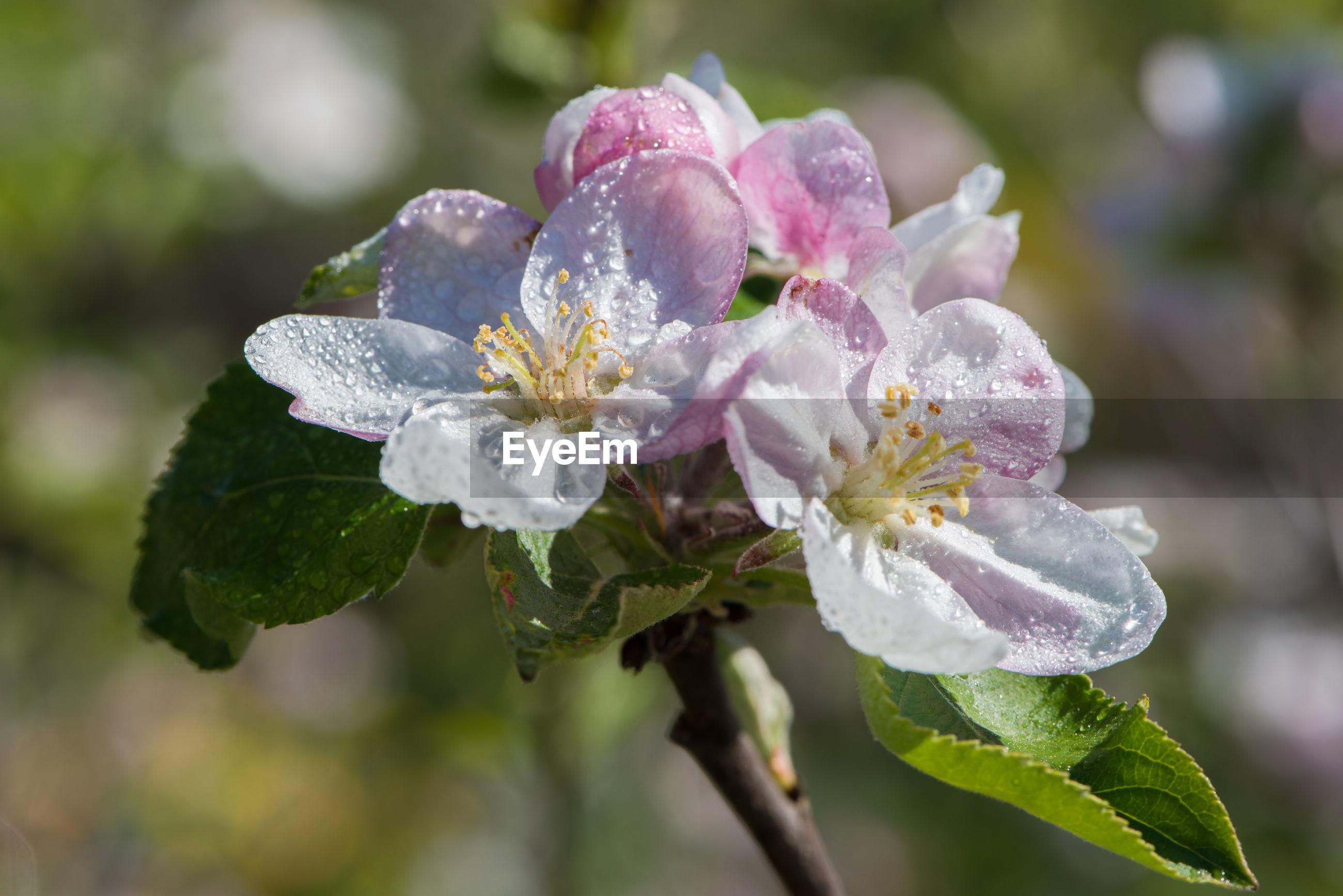 CLOSE-UP OF WET PURPLE FLOWERING PLANTS