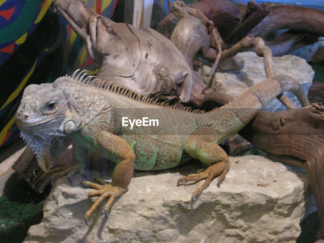 animal themes, reptile, animal, animal wildlife, vertebrate, lizard, animals in the wild, group of animals, no people, iguana, animals in captivity, nature, day, solid, zoo, close-up, animal body part, side view, outdoors, marine