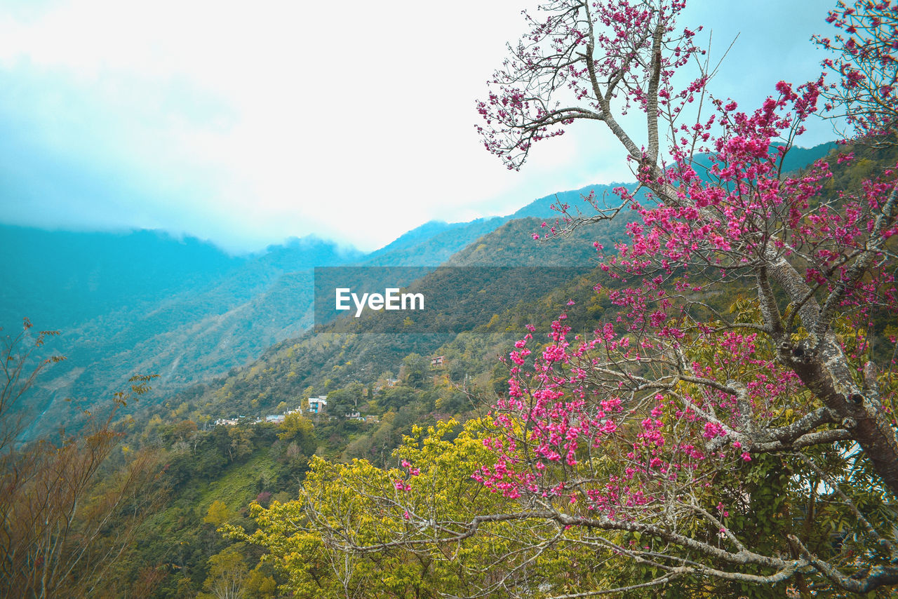 plant, beauty in nature, flower, growth, sky, flowering plant, tree, mountain, scenics - nature, nature, pink color, tranquility, fragility, tranquil scene, vulnerability, freshness, day, no people, landscape, land, springtime, outdoors, cherry blossom