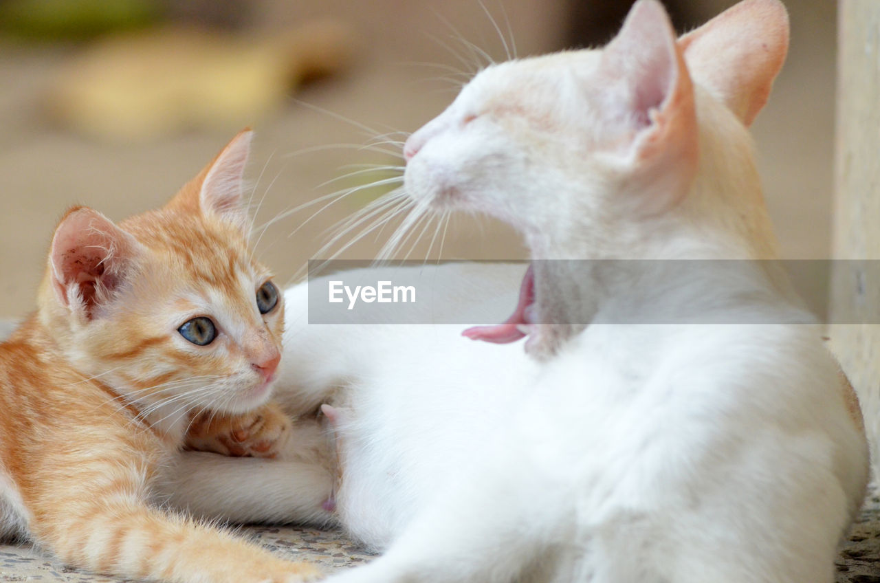 mammal, domestic, pets, animal themes, cat, domestic animals, domestic cat, feline, animal, vertebrate, whisker, group of animals, two animals, focus on foreground, looking, white color, close-up, no people, looking away, animal head, ginger cat, mouth open
