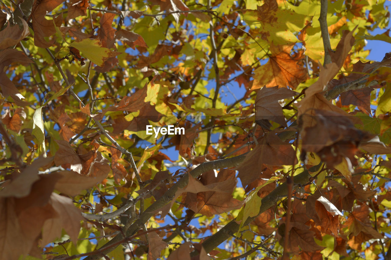 leaf, autumn, tree, growth, outdoors, nature, day, branch, change, low angle view, close-up, no people, beauty in nature, fragility