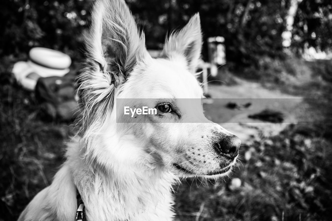 domestic, pets, domestic animals, one animal, animal themes, canine, dog, animal, mammal, focus on foreground, vertebrate, looking away, looking, close-up, animal body part, field, land, no people, day, animal head