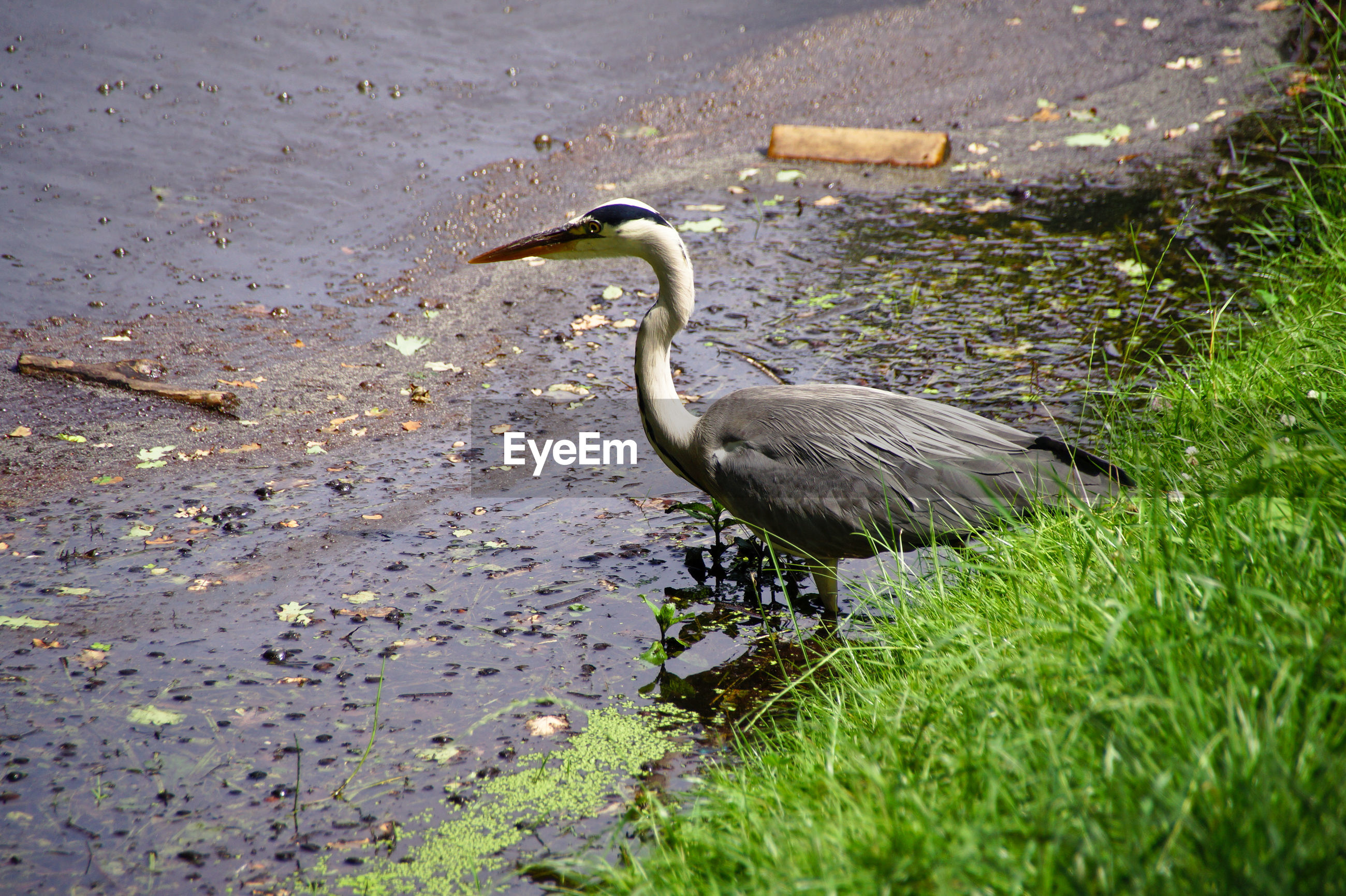 High angle view of gray heron standing at lakeshore