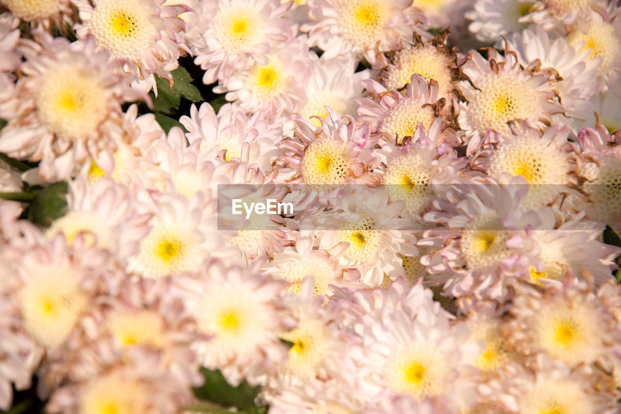 flower, flowering plant, freshness, plant, beauty in nature, fragility, vulnerability, close-up, petal, flower head, growth, selective focus, inflorescence, nature, no people, day, pink color, outdoors, springtime, yellow, pollen, flowerbed