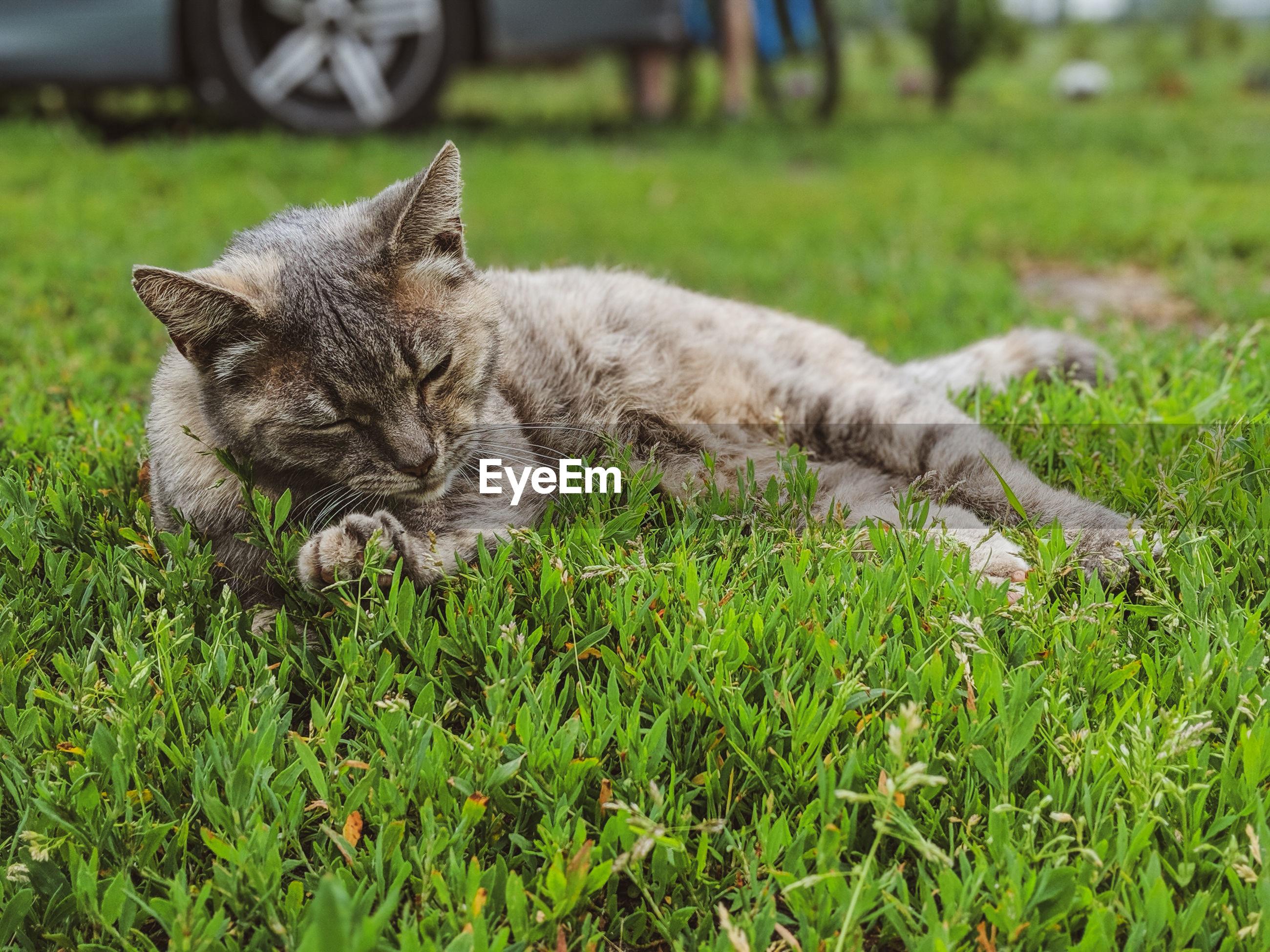 CAT RESTING ON GRASS