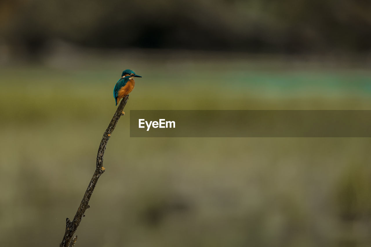 animal wildlife, bird, animals in the wild, animal themes, one animal, animal, vertebrate, focus on foreground, kingfisher, perching, no people, day, nature, outdoors, close-up, green color, plant, beauty in nature, land, side view, profile view