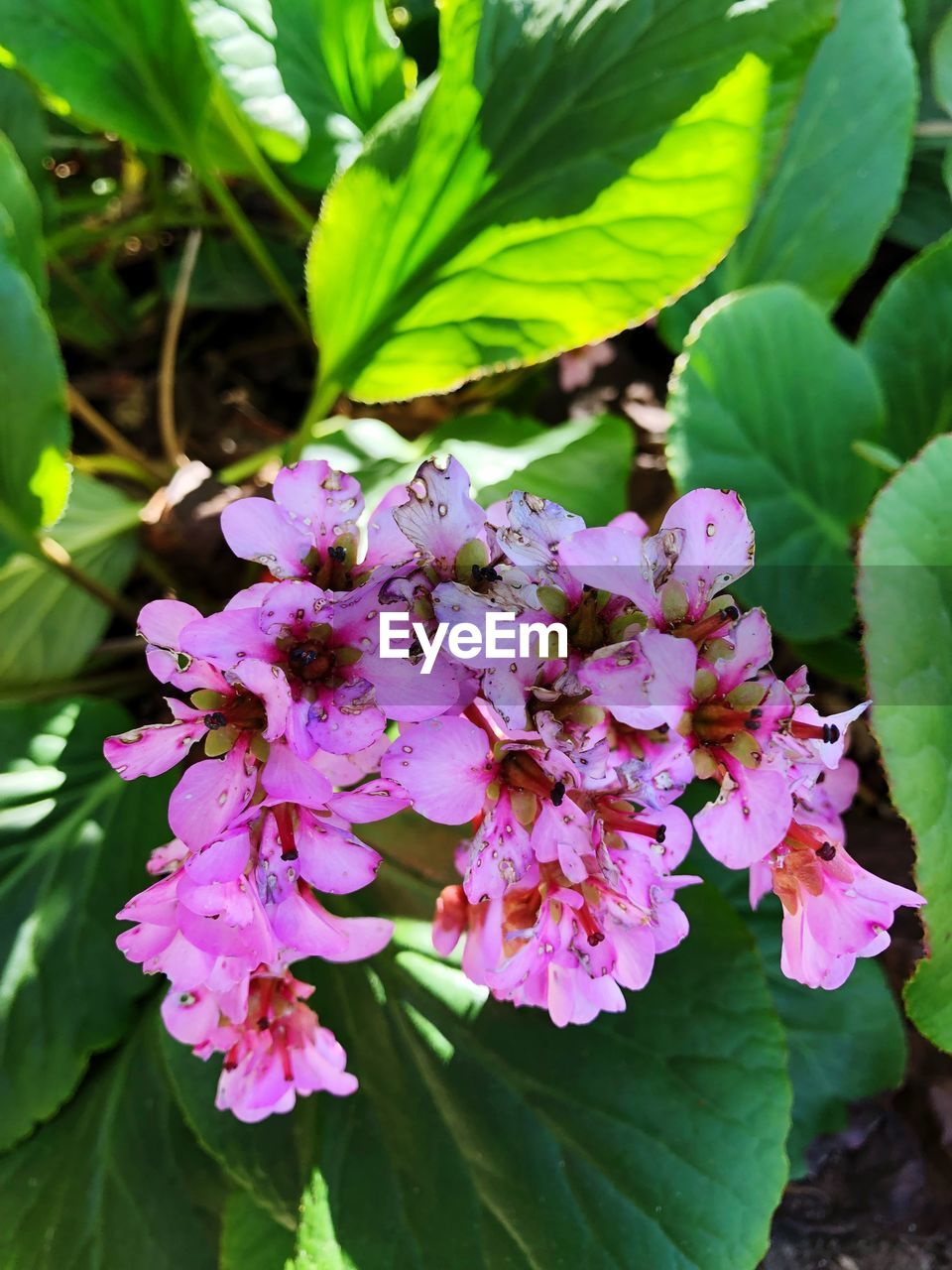 flower, flowering plant, plant, freshness, growth, beauty in nature, fragility, vulnerability, close-up, plant part, leaf, petal, nature, pink color, flower head, botany, inflorescence, day, no people, green color, purple, outdoors, pollen, bunch of flowers, lilac