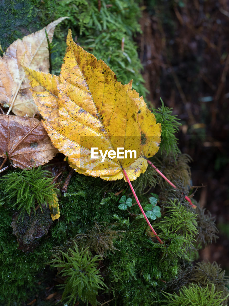leaf, autumn, change, nature, outdoors, day, green color, no people, close-up, high angle view, beauty in nature, yellow, growth, maple, grass, fragility, tree