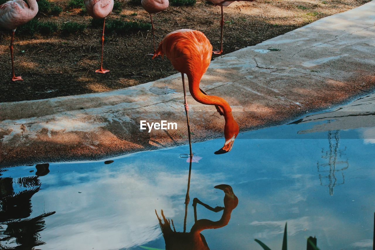 Flamingo Perching In Pond