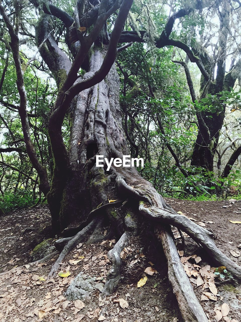 tree, plant, land, nature, growth, forest, tree trunk, trunk, no people, root, day, plant part, tranquility, branch, beauty in nature, outdoors, woodland, wood - material, green color, leaf, bark