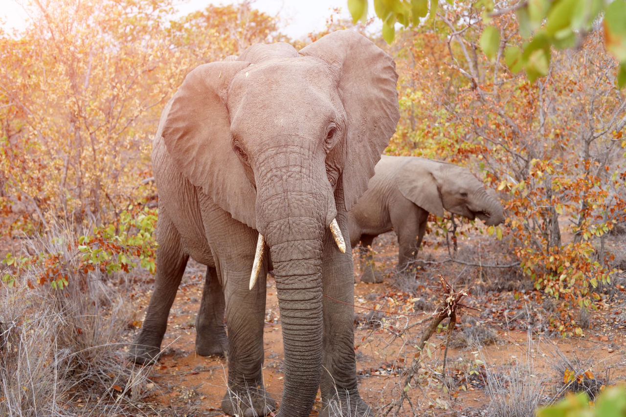 animal themes, animal, elephant, mammal, animals in the wild, tree, animal wildlife, forest, plant, group of animals, land, no people, nature, vertebrate, day, autumn, standing, young animal, outdoors, african elephant, herbivorous, animal trunk, animal family