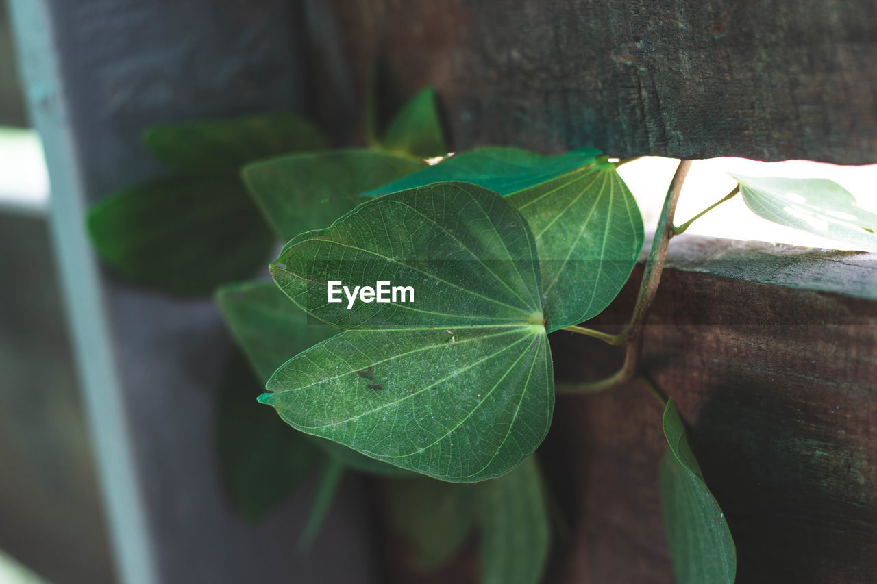 plant part, leaf, plant, green color, growth, close-up, nature, no people, day, leaf vein, focus on foreground, beauty in nature, outdoors, selective focus, potted plant, tree, leaves, freshness, high angle view, green