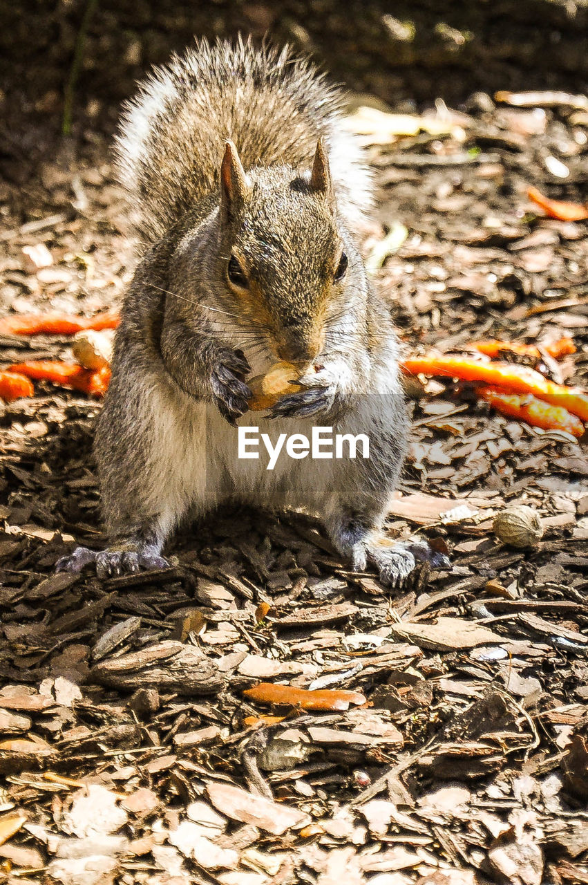 Squirrel eating peanut on field