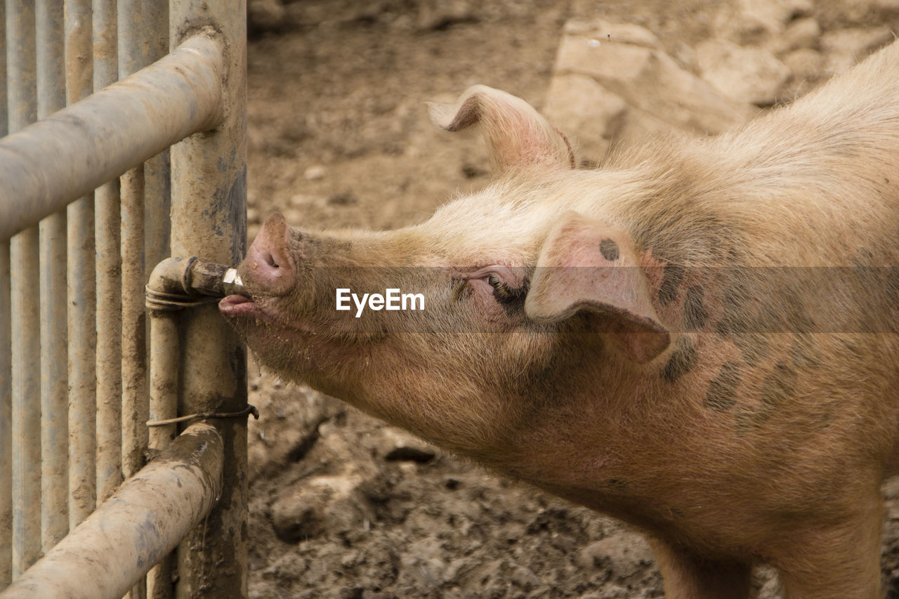 animal themes, mammal, animal, pig, livestock, barrier, one animal, boundary, fence, no people, domestic animals, day, animals in captivity, vertebrate, animal body part, pets, close-up, outdoors, domestic, nature, zoo, animal head, herbivorous, snout