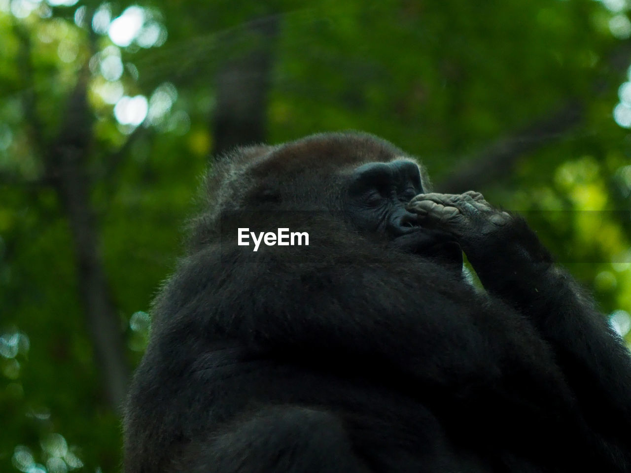 CLOSE-UP OF GORILLA SITTING OUTDOORS