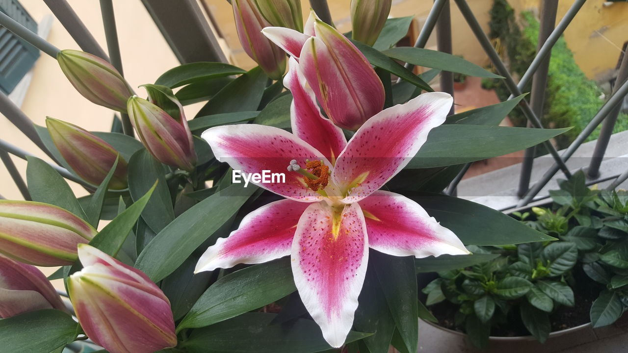 plant, flowering plant, flower, beauty in nature, growth, petal, freshness, fragility, vulnerability, flower head, close-up, inflorescence, pink color, nature, plant part, leaf, no people, day, botany, lily, outdoors, pollen, springtime, flower pot