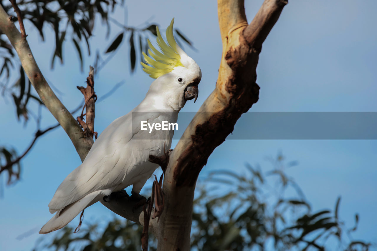 tree, animal themes, vertebrate, animal, bird, plant, branch, one animal, animal wildlife, animals in the wild, low angle view, perching, cockatoo, white color, nature, focus on foreground, parrot, day, no people, sky, outdoors