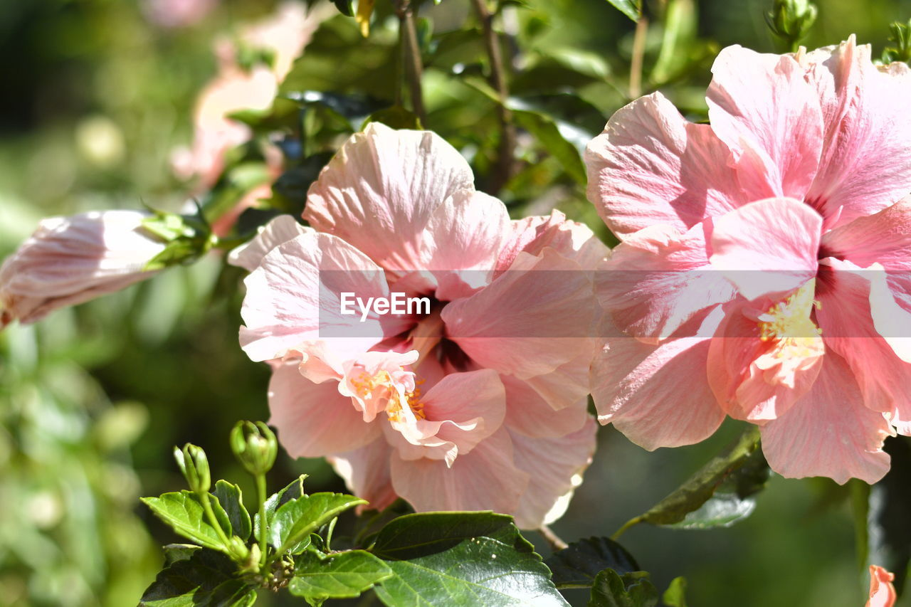 flowering plant, flower, plant, petal, freshness, fragility, vulnerability, growth, beauty in nature, close-up, pink color, inflorescence, flower head, no people, nature, day, plant part, leaf, focus on foreground, pollen