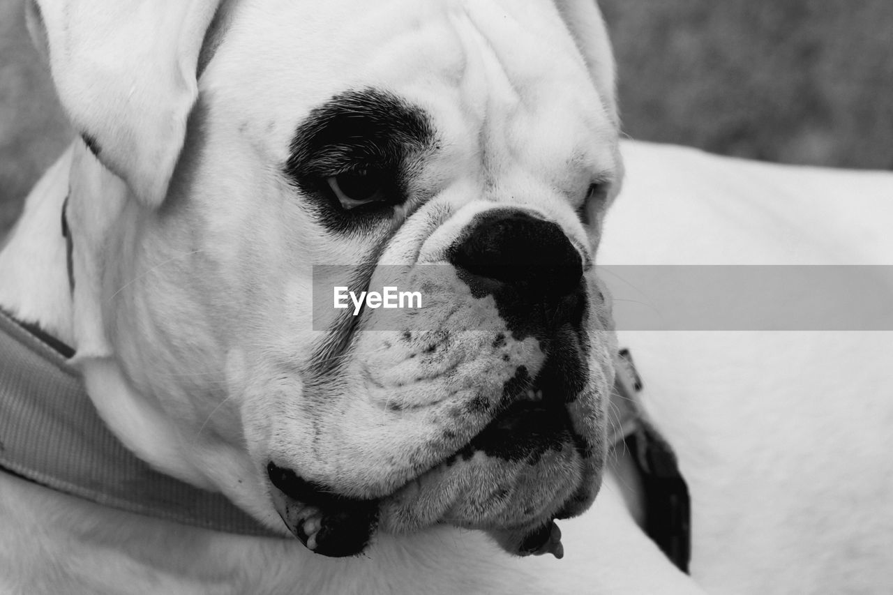 Extreme Close-Up Of Face Of Boxer Dog