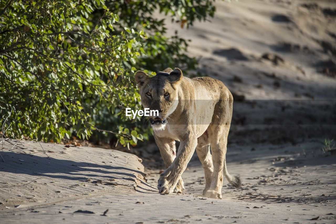 animal, animal themes, mammal, vertebrate, one animal, animal wildlife, land, animals in the wild, nature, day, no people, focus on foreground, sunlight, domestic animals, sand, standing, walking, outdoors, pets