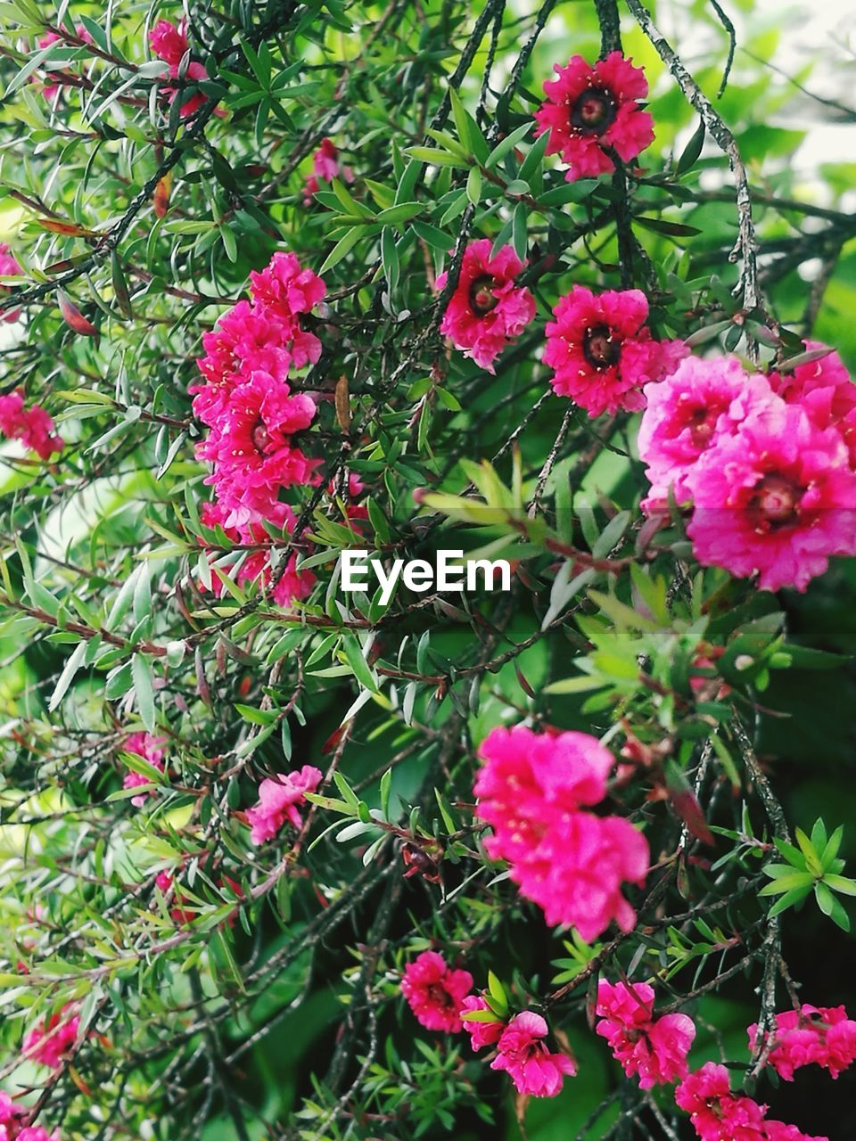 flowering plant, flower, plant, beauty in nature, vulnerability, fragility, freshness, pink color, growth, petal, close-up, nature, flower head, no people, inflorescence, day, park, plant part, park - man made space, leaf, outdoors, purple