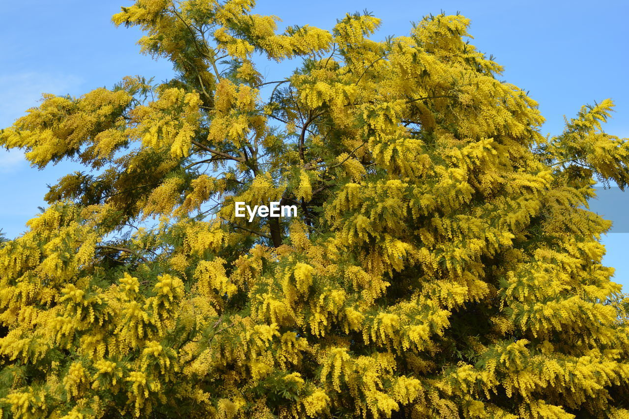 LOW ANGLE VIEW OF YELLOW TREE LEAVES AGAINST SKY