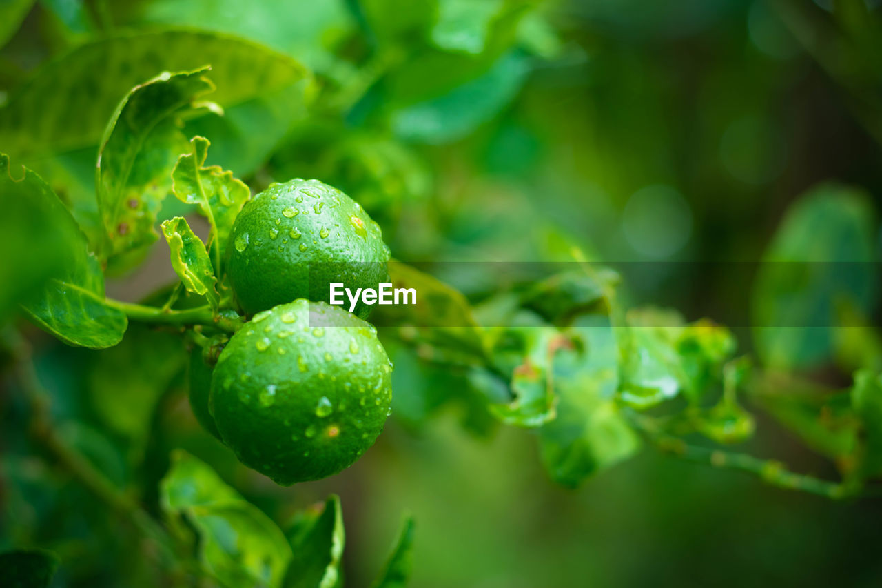 green color, growth, food and drink, food, fruit, plant, freshness, healthy eating, close-up, leaf, nature, plant part, wellbeing, no people, day, beauty in nature, selective focus, focus on foreground, agriculture, tree, outdoors, ripe