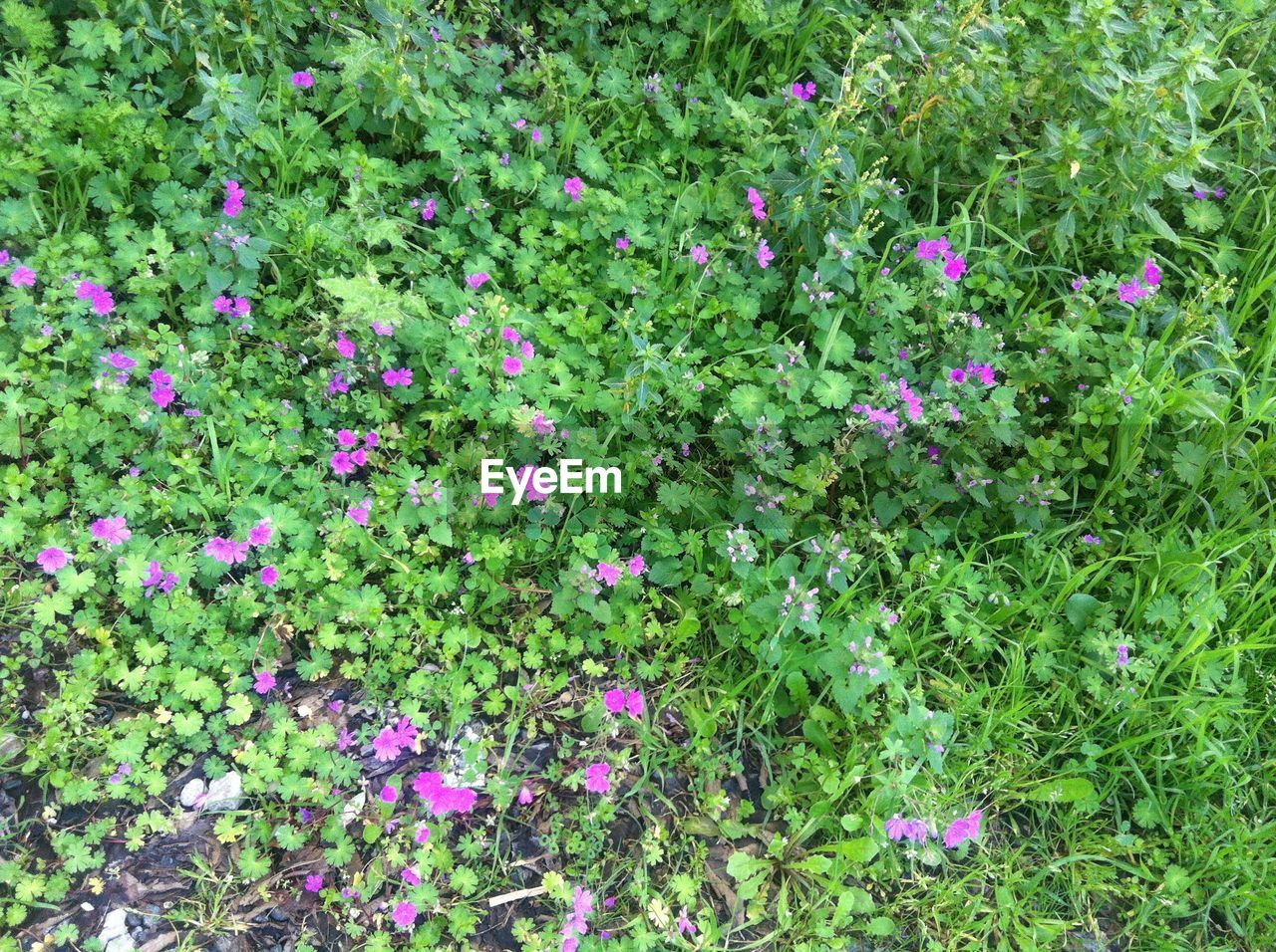flower, green color, growth, plant, nature, fragility, beauty in nature, freshness, pink color, leaf, abundance, no people, day, outdoors, flowerbed, springtime, multi colored, blooming, grass, flower head, petunia, close-up