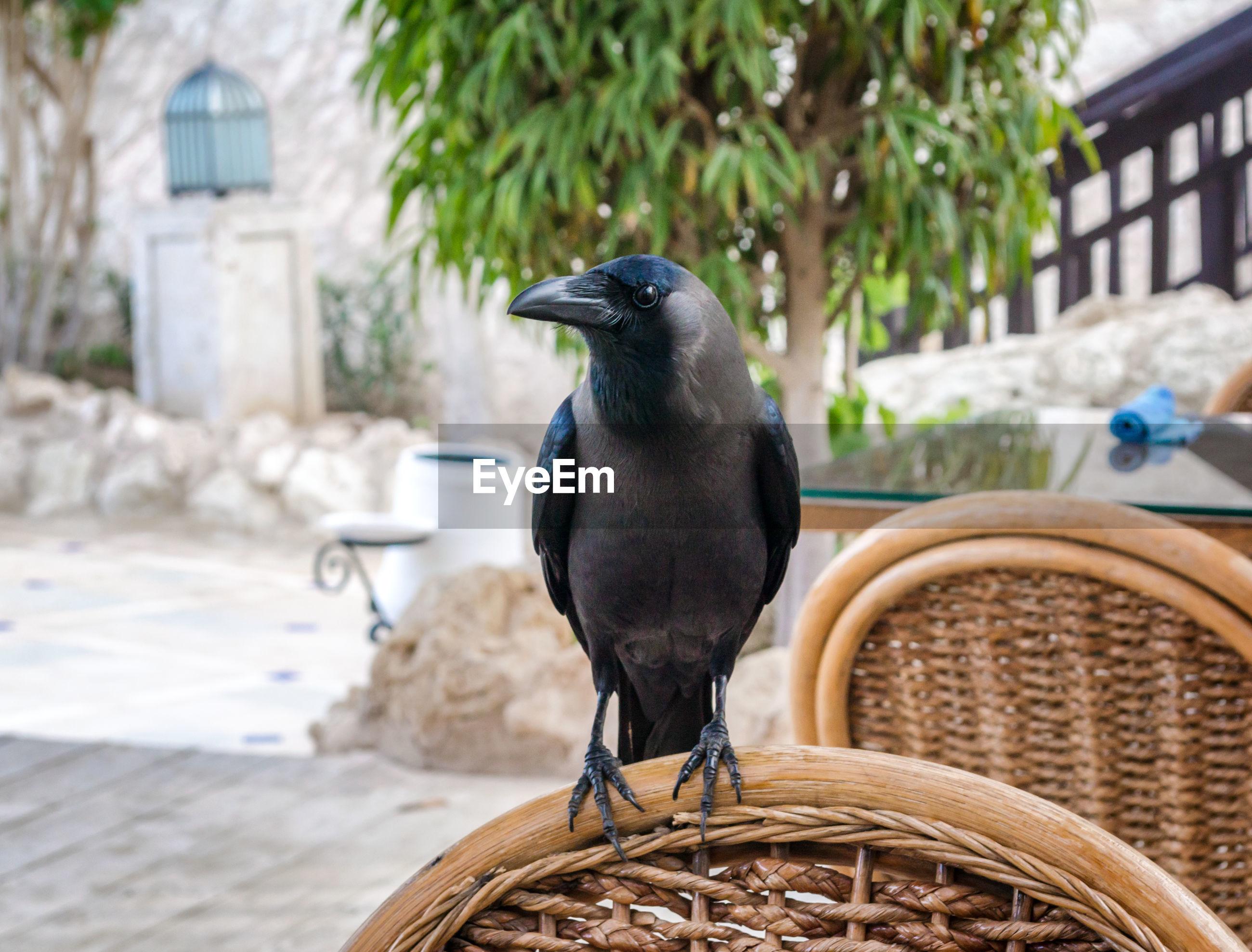 CLOSE-UP OF BIRD PERCHING ON A BASKET
