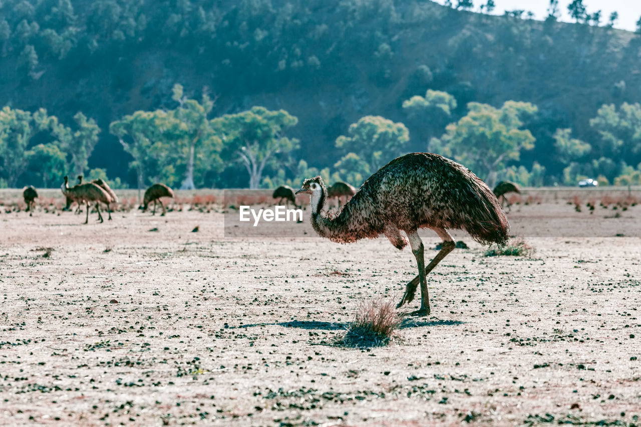 Emus Perching On A Field