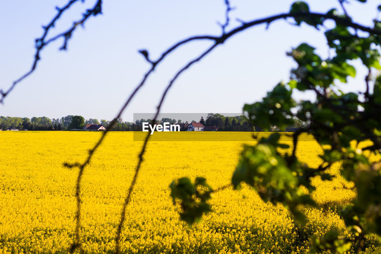 yellow, flower, nature, beauty in nature, field, growth, rural scene, oilseed rape, agriculture, crop, landscape, plant, day, no people, outdoors, scenics, sky, cultivated, mustard plant, tree, fragility, freshness