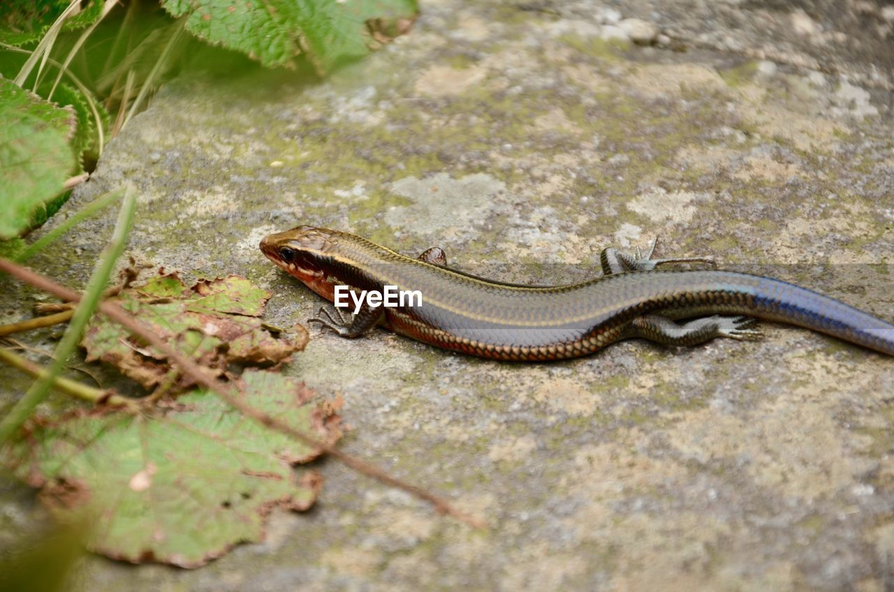 animal themes, one animal, animal, animal wildlife, animals in the wild, reptile, vertebrate, nature, no people, snake, day, selective focus, close-up, land, outdoors, plant, high angle view, forest, solid, zoology, crawling, poisonous