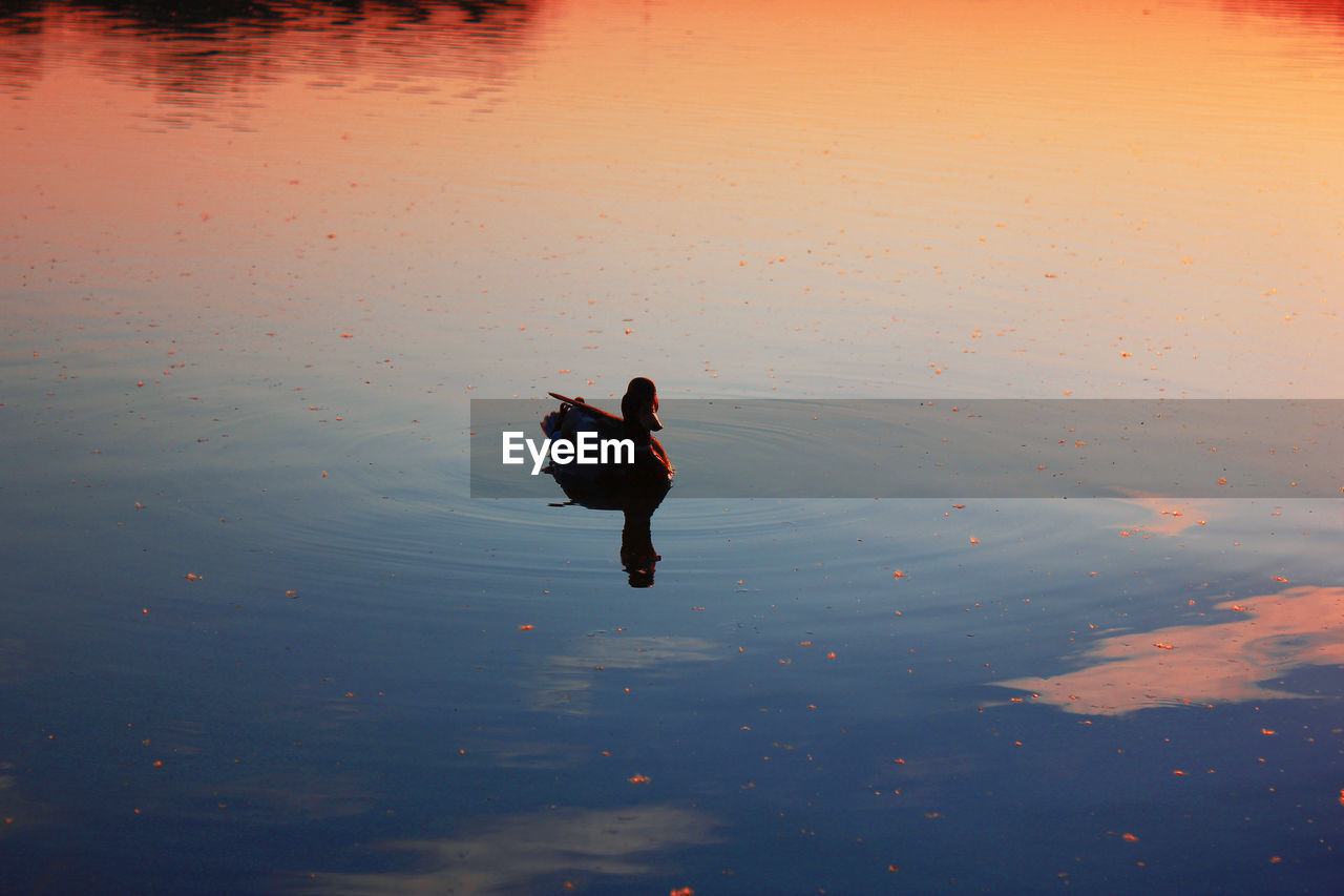 water, vertebrate, bird, waterfront, swimming, animal, animal themes, lake, animal wildlife, high angle view, animals in the wild, sunset, reflection, nature, one animal, beauty in nature, no people, duck, sky